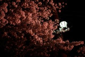 外灯と夜桜