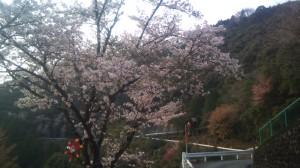 nisigawadaini_sakura